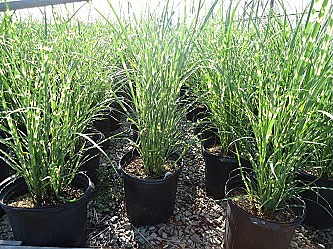 Ideas 4 you pictures of landscaping kenosha for Zebra grass landscaping ideas