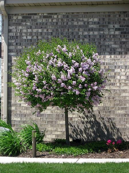 Trees Maples Tree Service Shrubs Chicago Illinois Il